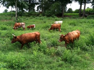 Bulls foraging on their natural diet.